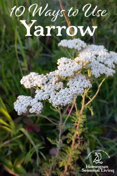 Yarrow can be used fresh or dried for many things. Use it fresh this summer and dry bunches for winter too. Cold Home Remedies, Natural Health Remedies, Natural Cures, Natural Healing, Herbal Remedies, Natural Foods, Natural Products, Natural Oil, Natural Beauty