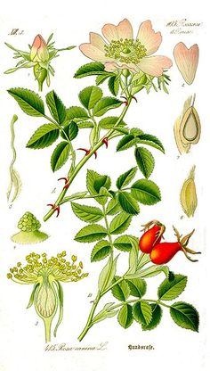 """Botanical illustration - """"Rosa canina, commonly known as the dog-rose, is a variable climbing wild rose species native to Europe, northwest Africa and western Asia."""" - quoted from Wikipedia."""