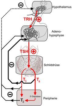 Hashimoto-Thyreoiditis zählt zu den Autoimmunerkrankungen und ist eine chronische Entzündung der Schilddrüse. Die Schilddrüse wird dabei vom eigenen Immunsystem angegriffen und die Zellen dauerhaft geschädigt.