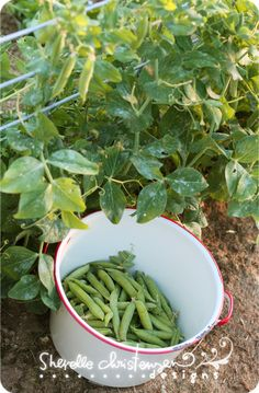 Helpful gardening tips for planting peas, radishes and leafy greens in early spring from Sherelle Christensen, writer of the blog My Crazy Life as a Farmer's Wife.