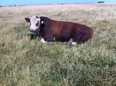 Life is good for the Simmental bulls on our farm