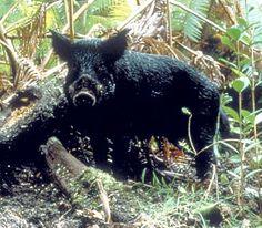 AGFC | Feral Pig
