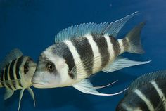 Aquarium Fish For Sale, Lake Tanganyika, Huge Waves, African Cichlids, Tropical Fish, In The Heights, Mythology, Fishing, Creatures