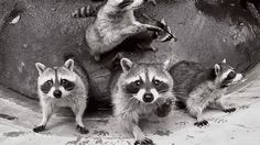Take the masks off your eyes, friends. Accept raccoons into your heart.