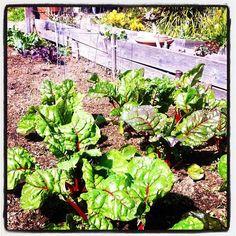 Community Garden Chard.
