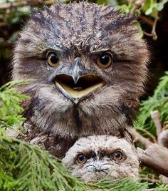 Tawny Frogmouth & young. Their call sounds like a grunt & is heard at night throughout Australia. They feed on bugs & insects eg. scorpions & occasionally on mice which they swoop on.