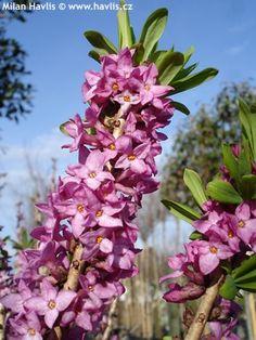 Daphne mezereum - lýkovec - kvte unor brezen