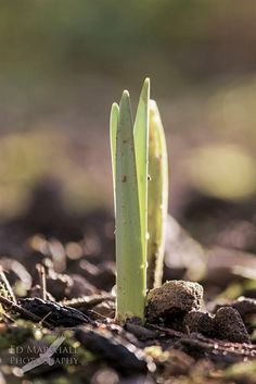 Plant emerging in Spring