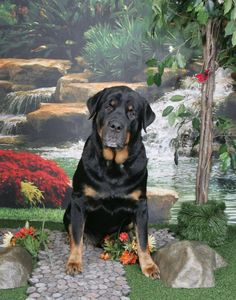 Sammy #Urgent is an #adoptable Rottweiler w/ Rescue Ridge in #SpringLake, #NewJersey --- Hi, everyone, My name is Sammy and I am really desperate for a new home.  My owner became very ill and can no longer take care of me and to both of our dismay, we have to part ways. I am six years old and although a diabetic, I have lots of love to...