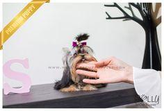 Karl - Yorkshire Terrier. M