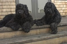 Two Black Russian Terriers Chilling on a Porch wallpaper Huge Dogs, I Love Dogs, Baby Dogs, Dogs And Puppies, Doggies, Black Russian Terrier, Giant Schnauzer, Large Dog Breeds, Pet Breeds