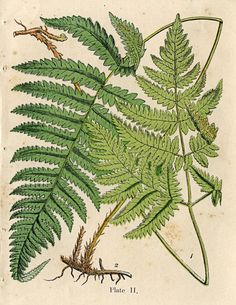 Click on image to enlarge Here's a recent acquisition that I was so pleased to get! (Oh my, I sound like a museum don't I?!) Anyway, this is a fabulous antique Natural History print, circa 1850's! This gorgeous print features some lush green ferns and includes a bit of the roots. Such a great graphic...Read More »
