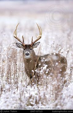 """Legendary Whitetails. I don't have another board to suffice for this sort of animal, so you shall be called """"cute"""", deer. Oh, I'm so punny."""