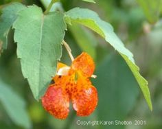 Jewelweed in bloom. The leaves and the juice from the stem of Jewelweed are used to cure poison ivy and other plant induced rashes. It works by counter-reacting with the chemicals in other plants that cause irritation. Poultice from the plant is a folk remedy for bruises, burns, cuts, eczema, insect bites, sores, sprains, warts, and ringworm. When you've been exposed to poison ivy, oak, or stinging nettle reach for the jewelweed plant, slice the stem, then rub its juicy inside on exposed…