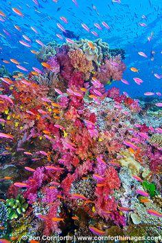 Mermaid's Dive: Under the Sea Namena Soft Corals ~ underwater view, reefscape with colorful anthias, Namena Marine Reserve, Fiji by Cornforth Images Beautiful Ocean, Amazing Nature, Fauna Marina, Marine Reserves, Underwater Life, Soft Corals, Ocean Creatures, Sea World, Ocean Life