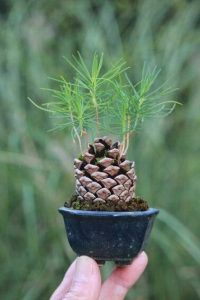 pinecone bonsai