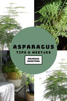 In deze blog ga ik weer eens een plant uitlichten…en wel de frisgroene, met ragfijne bladeren Asparagus! Wil jij alle tips en weetjes lezen over deze mooie groene vriend? Lees dan gauw verder! #planten #plants #kamerplanten #asparagus #sierasperge #groeninhuis #urbanjungle #plantentips #plantenweetjes Tips, Plants, Blog, Blogging, Plant, Planets, Counseling