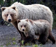 Alaska Highway: A mama grizzly bear and one of three cubs on Highway 2 about 30 miles south of Whitehorse, Yukon, Canada. (Daniel A. Anderson)