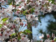 【境内の様子】平成21年5月3日、境内西側にある桜が満開となりました。
