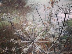 frozen ❄ Dandelion, Frozen, World, Flowers, Plants, Dandelions, The World, Plant, Taraxacum Officinale