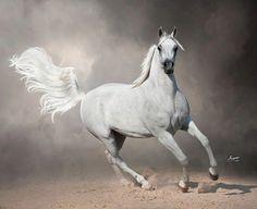 Mackayne Arabians   The Ladies