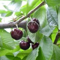 Garden Pool, Fruit Trees, Grape Vines, Plum, Cherry, Exterior, Food, Permaculture, Agriculture