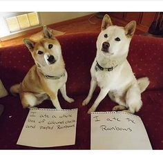 An epic gallery of 30 best dog shaming pictures that prove these dogs are the naughtiest in the world. The best dog shaming photo gallery that features the most hilarious, most shameful, and never-before-seen puppy misdeeds. Funny Animal Memes, Dog Memes, Cute Funny Animals, Funny Cute, Funny Dogs, Animal Captions, Animal Pics, Funny Memes, Dog Funnies