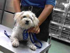 A530343 URGENT Devore Shelter - Dandie Dinmont is an adoptable Terrier Dog in San Bernardino, CA. WILL YOU SAVE ME?  This dog is currently at the DEVORE ANIMAL SHELTER & VERY QUICKLY NEEDS A HOME. For...