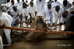 "Kimbanguist faithfuls try to lift a cow chosen as an offering to Simon Kimbangu Kiangani Nkamba (unseen), son of Dialungana Kiangani Salomon and believed by followers to be ""The Holy Spirit"", during..."