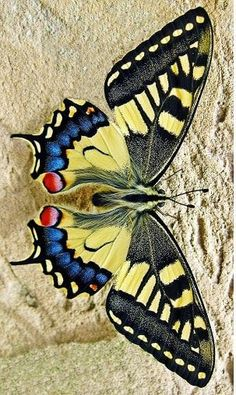 grand machaon buterflie by guy couchard – Photo 215768581 / Grand Machaon Buterflie von Guy Couchard – Stockfoto 215768581 / Butterfly Drawing, Butterfly Painting, Butterfly Wallpaper, Butterfly Flowers, Butterfly Mobile, Monarch Butterfly, Cool Insects, Bugs And Insects, Beautiful Bugs