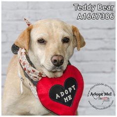 COD RED!! SUPER URGENT --TEDDY BEAR (A1667386) I am a female tan Labrador Retriever mix.  The shelter staff think I am about 7 years old.  I was found as a stray and I may be available for adoption on 12/24/2014.