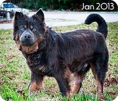 Porter, TX - Chow Chow Mix. Meet Bawco, a dog for adoption. http://www.adoptapet.com/pet/8544817-porter-texas-chow-chow-mix