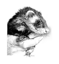 A Ferret Named Weasel  by Carole Raschella, Los Angeles
