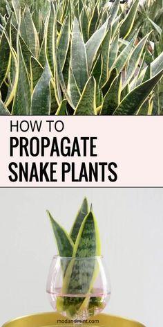 Snake Plant Propagation, Sansevieria Plant, Pothos Plant Care, Calathea Plant, Air Plants Care, Plant Cuttings, Succulents Garden, Garden Plants, Planting Flowers