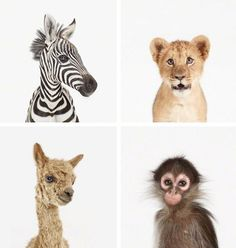 a zebra, a lion, a monkey & a llama  were in a boat...