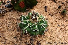 Discocactus griseus