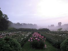 There was such amazing light on this misty morning. - peony garden martha stewart