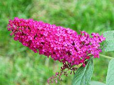 Butterfly Bush, Kentlands IMG_0087 Kentlands photowalk, Gaithersburg, Montgomery County, Maryland. Photograph by Roy Kelley Roy and Dolores Kelley Photographs
