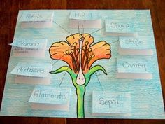 classroom collective • Parts of a flower and their jobs