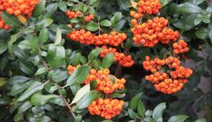 As both night and daytime temperatures continue to cool, the garden reveals yet another of its features; an abundance of fall fruit and berries. Fall Fruits, Horticulture, Botanical Gardens, Berries, Gardening, Seasons, Plants, Inspiration, Biblical Inspiration