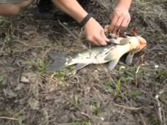 Spear Fishing Tutorial; How To Spear Fish With Nothing But A Knife, Machete, And 550 Cord