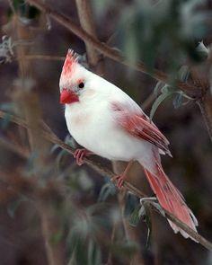 Rare and Beautiful Female Albino Cardinal. albino animal Animal Life on Pretty Birds, Beautiful Birds, Animals Beautiful, Cute Animals, Amazing Animals, Stunningly Beautiful, Wild Animals, Baby Animals, Beautiful People