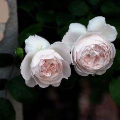 我が家の薔薇  大好きなルドゥテの姉妹 〜過去pic〜 #rose#roses#rosegarden #薔薇#ばら#バラ #花#flower#flowers #garden#gardening #ガーデン#ガーデニング #私の庭 #beautiful#cute#love#happy #綺麗#美しい #写真好きな人と繋がりたい #写真撮ってる人と繋がりたい #ファインダー越しの私の世界 #instaphoto#instaflower #instagood#instalike
