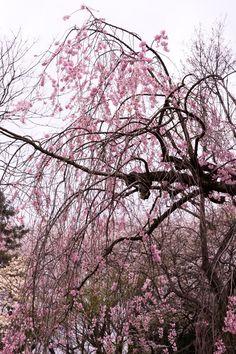 紅枝垂れ  Spring has come.