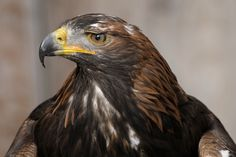 Steinadler (Aquila chrysaetos). by Dietmar Möhle on 500px                                                                                                                                                      Mehr