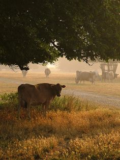 Cows in Langley Country Park, England; photo by .Kevin Day
