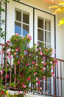 Mandevilla intertwined on balcony railing.