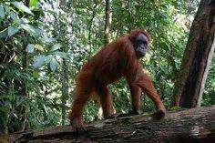 Bosque Tropical de Sumatra (Indonesia). Desde hace 50 años su rica biodiversidad está siendo devastada por la tala ilegal de árboles, la invasión agrícola, la caza furtiva y la construcción de carreteras, sin que las instituciones le pongan freno. Solo quedan unos pocos sectores aislados de frondosa vegetación en los que sobrevive uno de los animales más adorables y amenazados del mundo: el orangután de Sumatra. Por ello están incluidos en la Lista de Patrimonio de la Humanidad en Peligro.