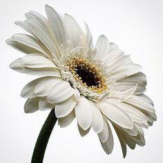 White gerbera (MsPauMou) Tags: white flower fleur square gerbera squareformat bloem instagramapp