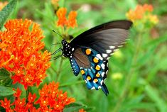 The Sublime Swallowtail Butterfly | The Pipevine Swallowtail | The Ark In Space